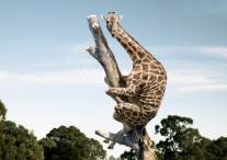 la girafe a peur