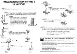 Conseils pour la plantation et la conduite du saule têtard