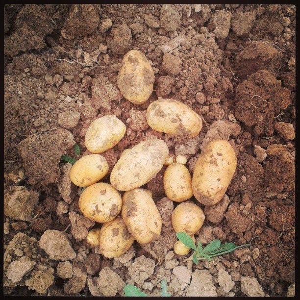 Pommes de terre nouvelles nées