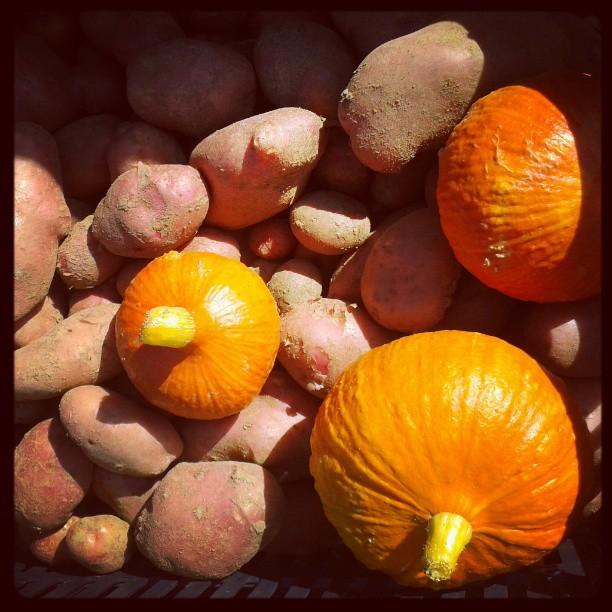 Pommes de terre Désirée et potimarrons