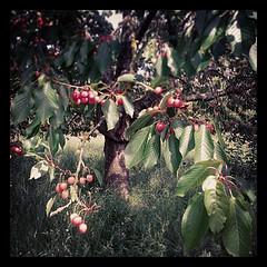 Cerises sur l'arbre