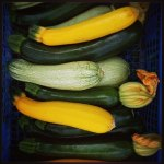 Courgettes multiolores