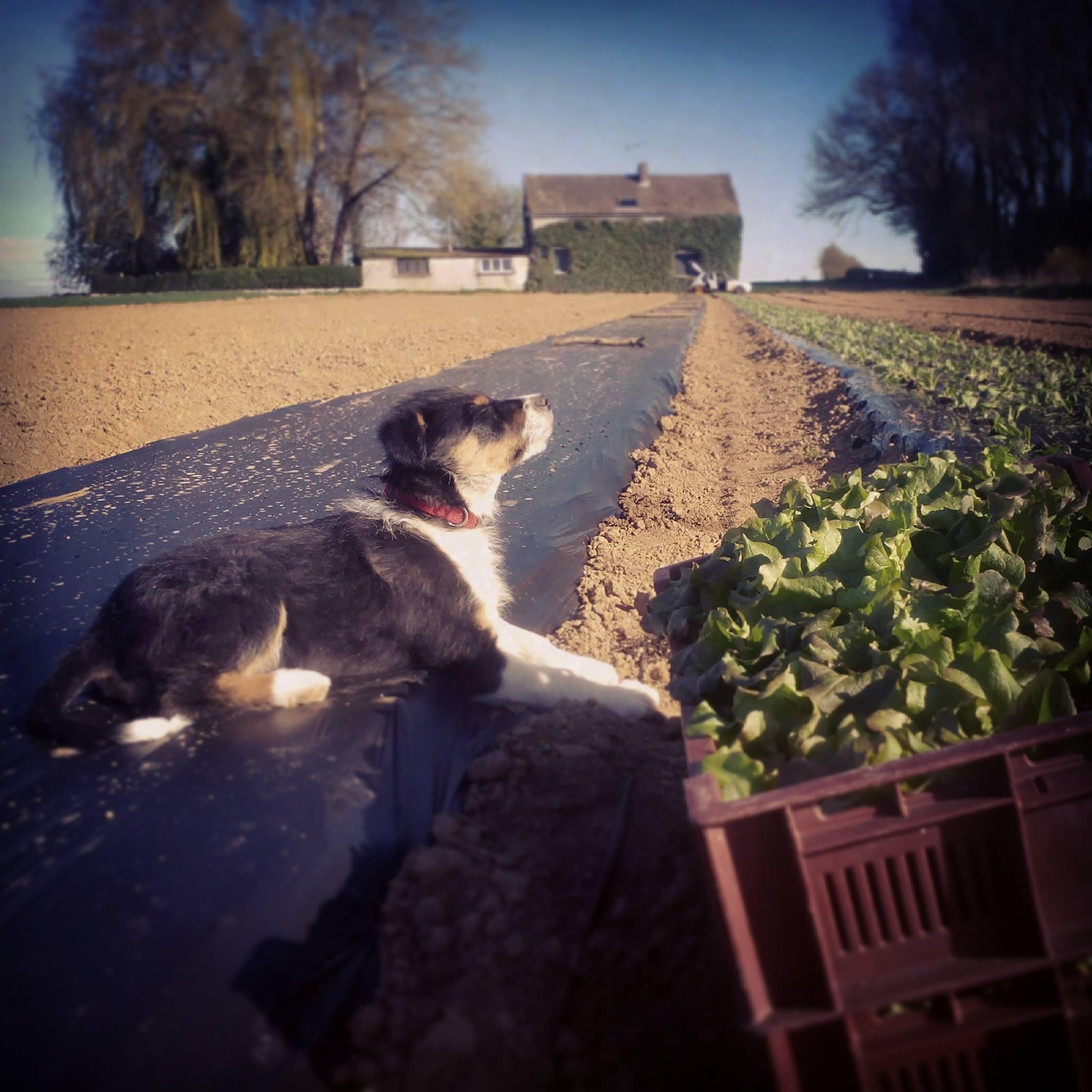 Tambouille le chien surveille les salades