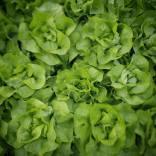Laitue pommée verte