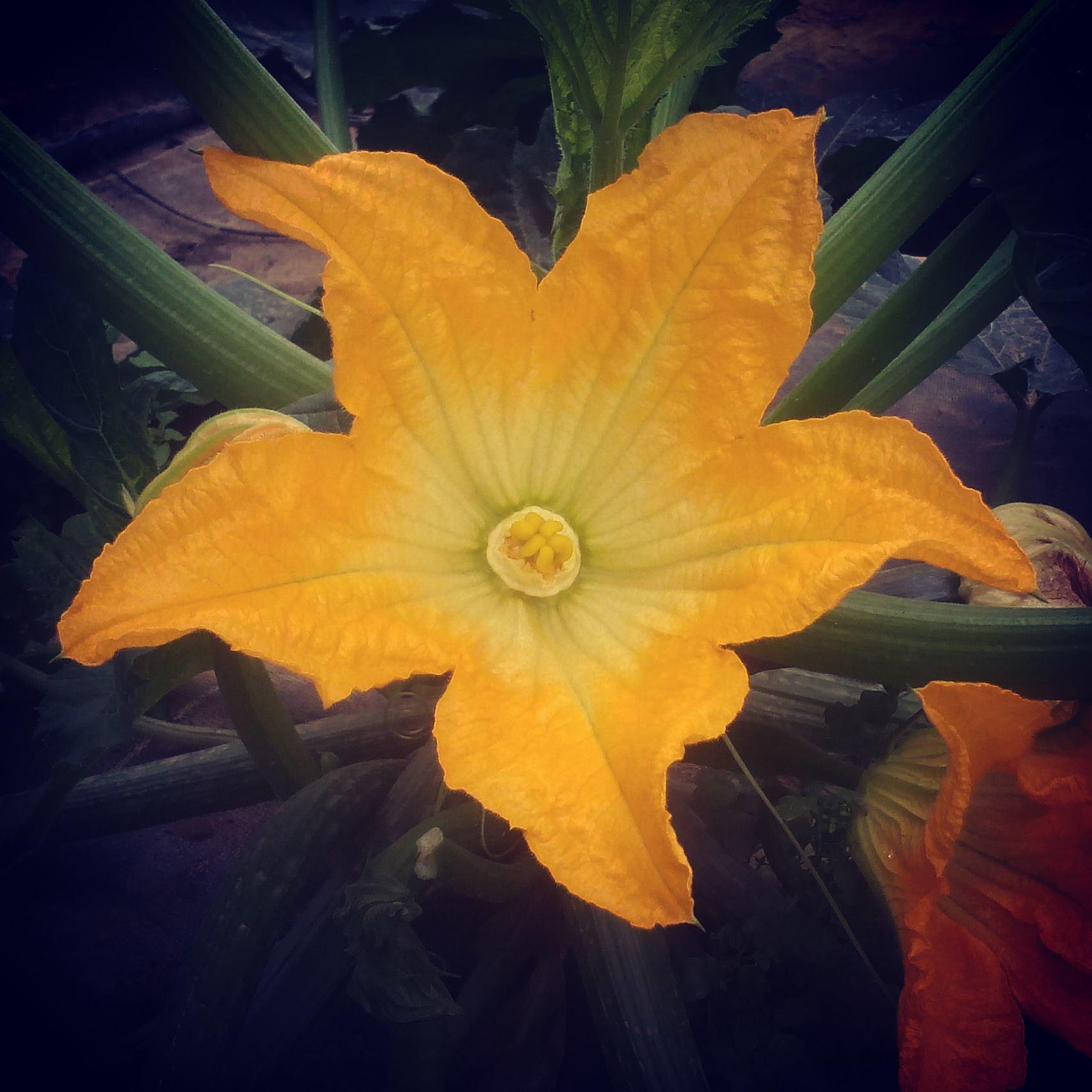 Courgette en fleur