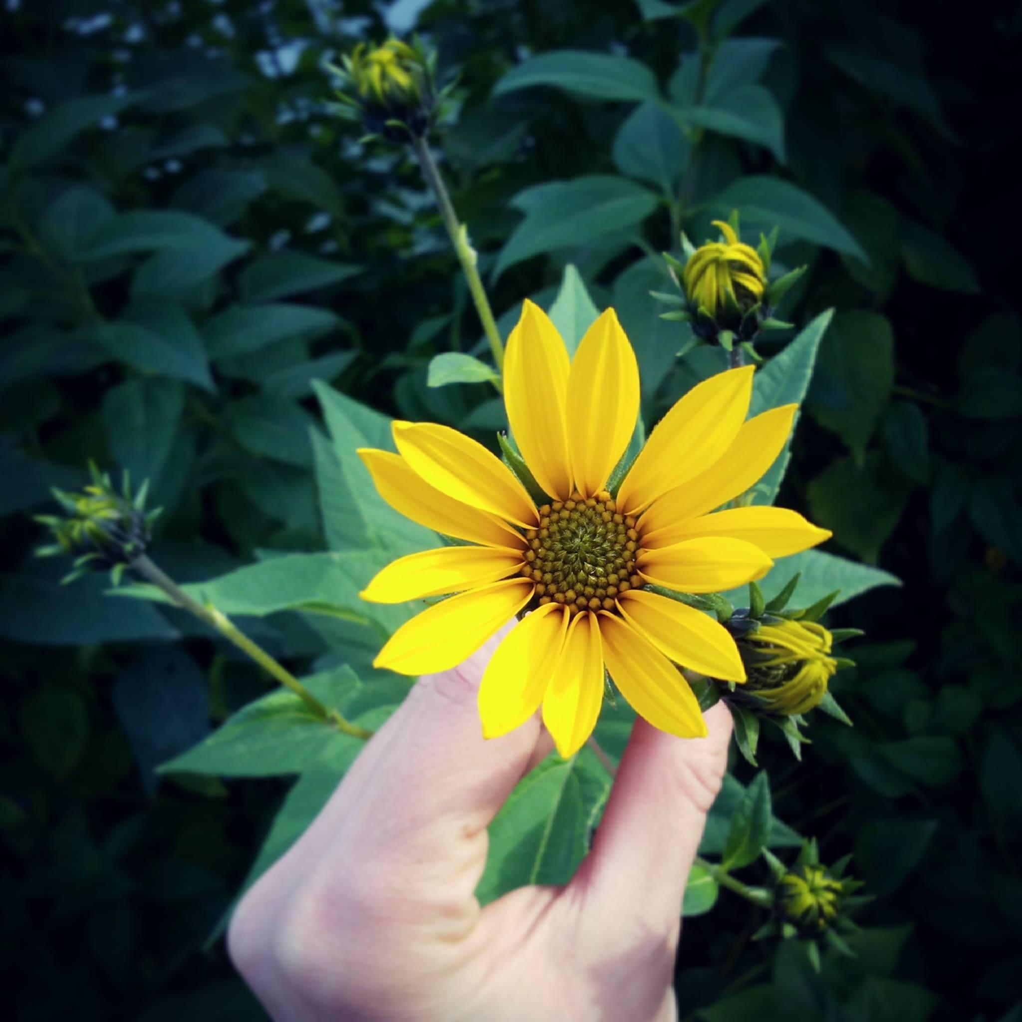 fleur d'helianthus